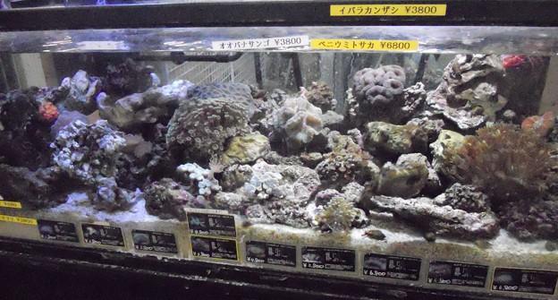 サンゴ販売