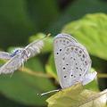 写真: ヤマトシジミ南西諸島亜種-4