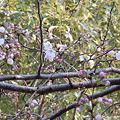 Photos: 桜、咲く