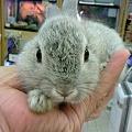 写真: ミニウサギ。5月の末頃産ま...