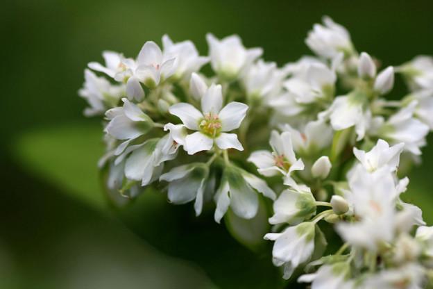 Photos: 2010.06.22 追分市民の森 ソバの花