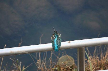 2010.12.21 和泉川 カワセミ