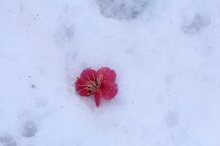 2011.02.15 和泉川 落紅梅