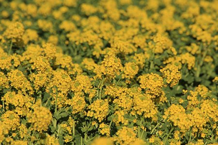 2011.02.26 追分市民の森 菜の花
