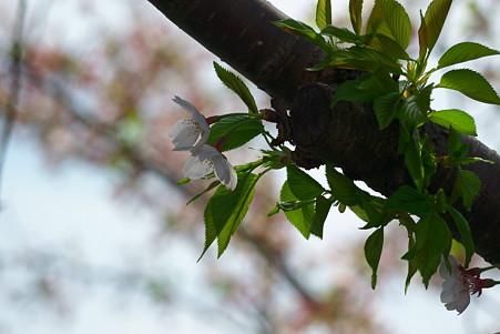 2011.04.15 みなとみらい さくら
