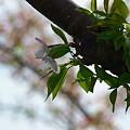 Photos: 2011.04.15 みなとみらい さくら
