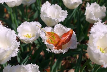 2011.04.15 横浜公園 チューリップまつり 落ち若葉のゆりかご