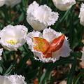 Photos: 2011.04.15 横浜公園 チューリップまつり 落ち若葉のゆりかご