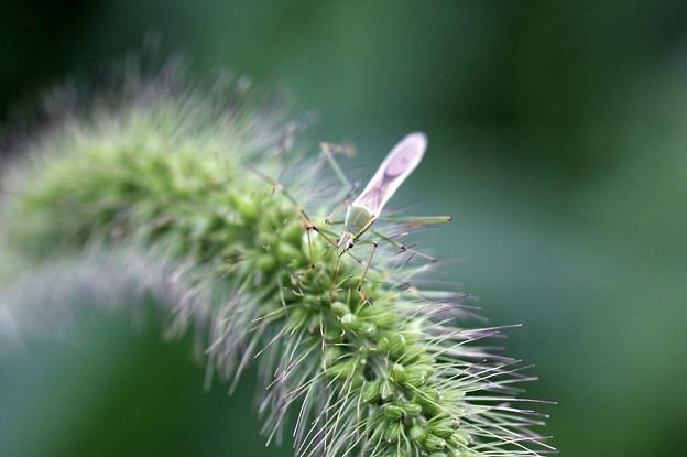 2011.08.26 和泉川 アキノエノコログサにクモヘリカメムシ
