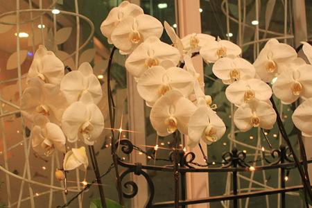胡蝶蘭の群れ