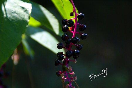 洋種ヤマゴボウ 秋陽の三渓園 12