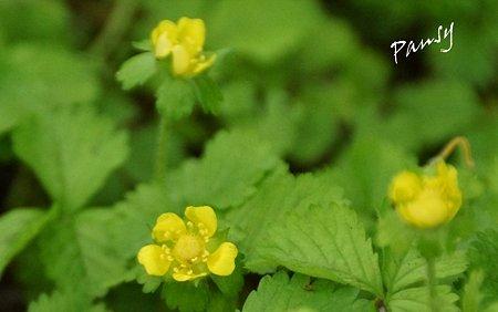 へびいちごの花・・緑のさんぽ道・・7