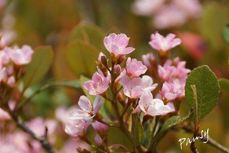 シャリンバイ・・pink