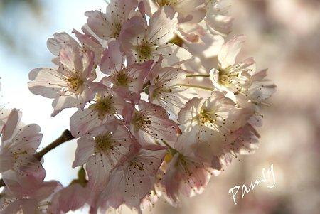 さくら・・「春めき」