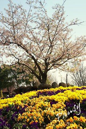 玉縄桜と・・パンジーと・・
