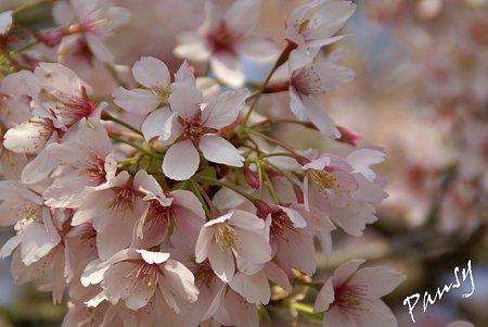 玉縄桜・・