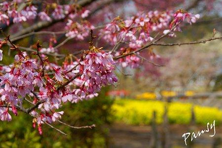 おかめ桜と・・菜の花と・・