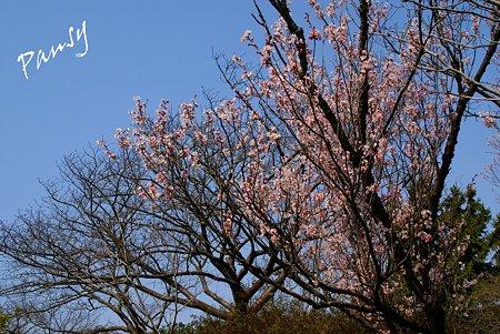 青空と・・敬翁桜・・