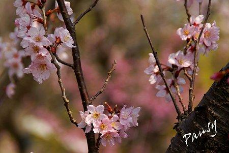 敬翁桜・・1