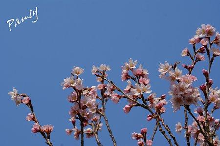 敬翁桜・・4
