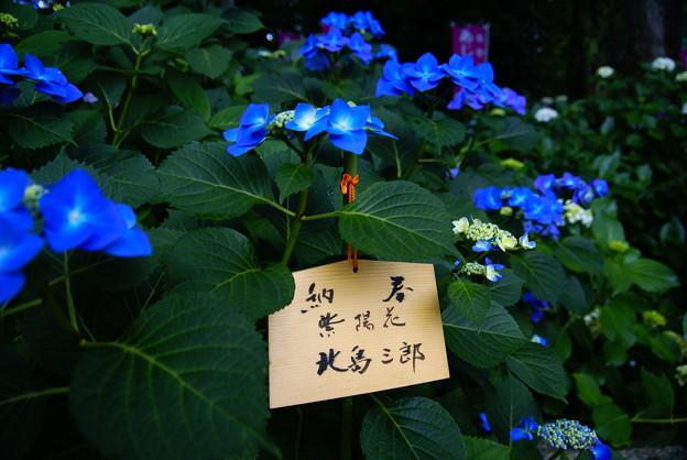 北島三郎の紫陽花