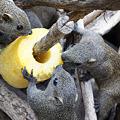 写真: パイナップルに群がるタイワンリス