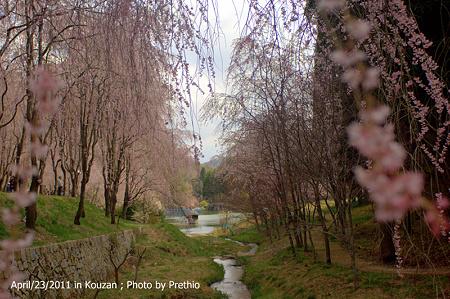 しだれ桜(3)