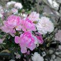 咲き乱れる夢乙女