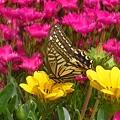 Photos: 黒い瞳の揚羽蝶 原色のお花畑に舞い降りて♪