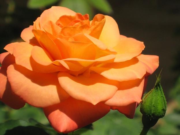 夏の光の中で~薔薇~