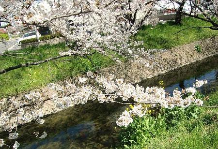 iwakura sakuramaturi-230408-5
