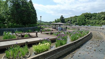 みやこ町豊津運動公園内の花菖蒲公園(1)