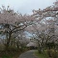 志高湖の桜(2)