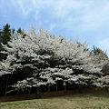 志高湖の桜(10)
