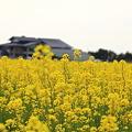 Photos: 菜の花畑(4)