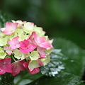 雨の紫陽花 長谷寺