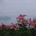 ゆり びわこ箱館山(1)  琵琶湖