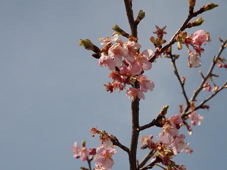 桜ほころび