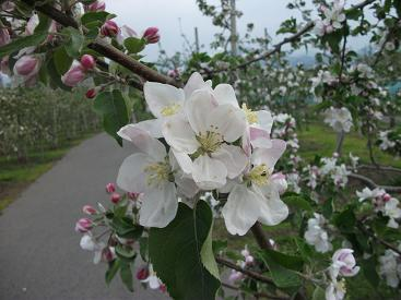 110516りんごの花アップ