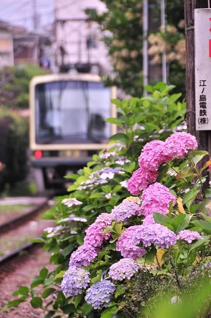 御霊神社の踏み切りから江ノ電2000形と紫陽花・・20120619