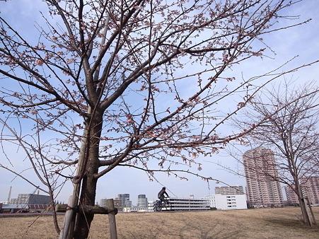 汐入公園の桜 2011-3-6 01