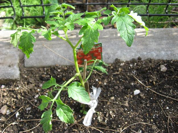写真: スイートトマト