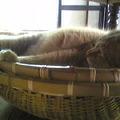 Photos: わが家の猫番頭も、茹だる暑...
