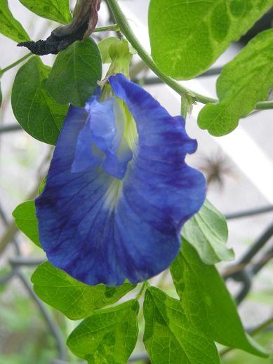クリトリア(蝶豆)の花