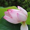 Photos: 23.8.13ハスの花