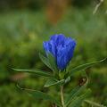 寂しげで清澄な花・オヤマリンドウ