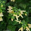 Photos: たくさん咲く・キバナアキギリ